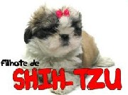 Canil de shih tzu em blumenau